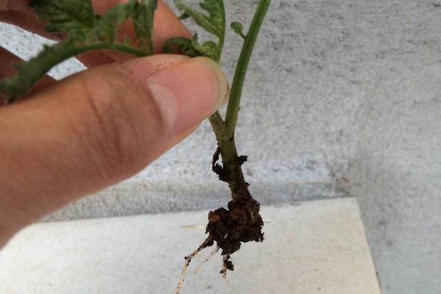 トマトの挿し木4