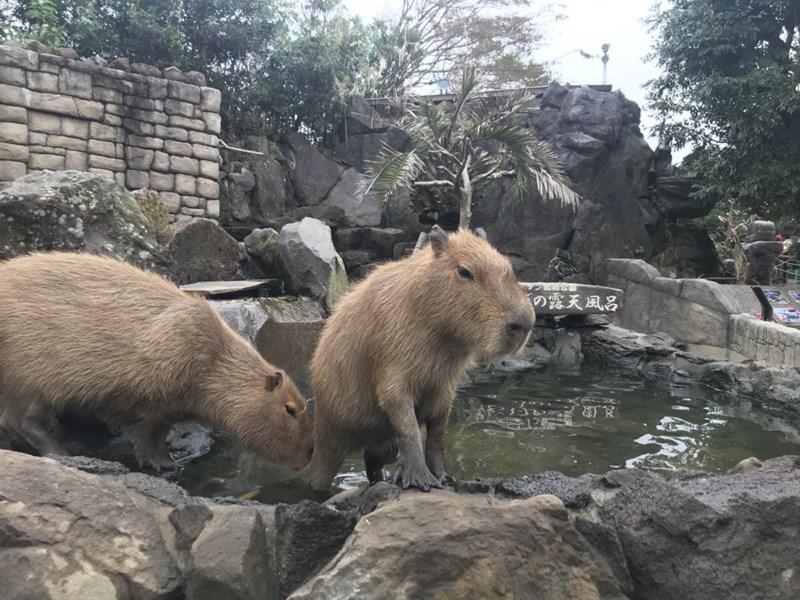 シャボテン公園カピバラ温泉