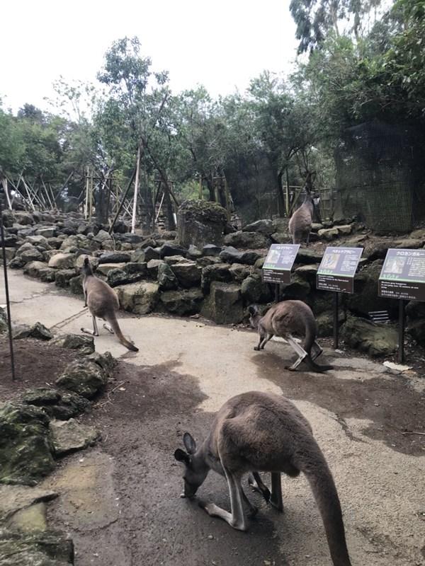 シャボテン公園カンガルー